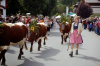 Almabtrieb im Salzburger Land