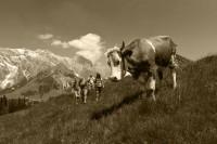 Begegnung auf der Alm Salzburger Land
