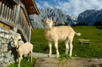 Ziegen auf der Alm im Salzburger Land